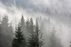 pine forest in morning fog