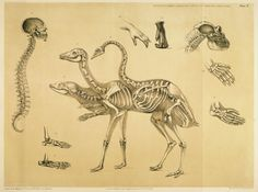Hawkins, Benjamin Waterhouse / A comparative view of the human and animal frame  (1860)  //  [Plate ten - Diagram, explanatory text and conclusion],   pp. 25-27