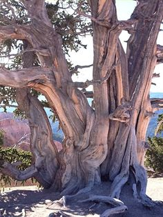 one of Natures Oldest living things. These ancient Bristlecone Pine trees that exist in the harsh environment of a windswept ridge are a wonder to behold. masters of survival, some living as Bristlecone Pine, Unique Trees, Old Trees, Nature Tree, Tree Forest, Jolie Photo, Tree Art, Tree Of Life, Amazing Nature