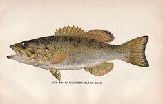 Cette chromolithographie est le rapport des commissaires état des pêcheries pour 1896, publié en 1897 par Clarence M Busche, imprimante d'état de Pennsylvanie.