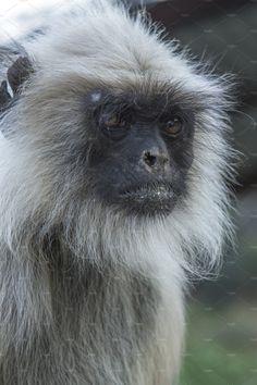 Indian Monkey by Kailash Kumar on Indian Monkey, Indian Animals, States Of India, Animal 2, Westerns, Around The Worlds