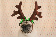 Bah Hum-Pug! Photo Copyright In Her Image Photography 2013. All Rights Reserved.