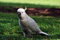 Australian Cockatoo by JanetGrima, via Flickr