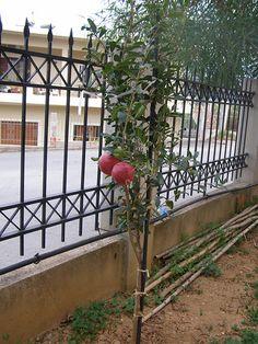 the pomegrante tree