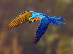 Arara Azul e Amarela | 100 Dicas