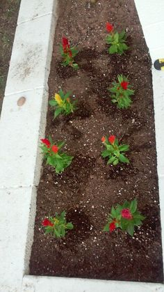 My new Celosia flowers!