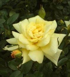 Yellow Hybrid Tea Rose ~ image