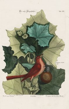 Seeds American Sycamore Tree { Platanus occidentalis } Finest 10 UK Seller*