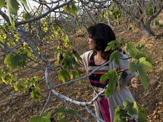#gourmetimportshop #figs #reads  Fancy A Fig? California's Growers Desperately Hope You Do