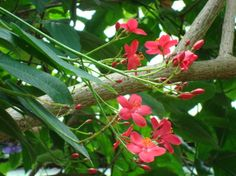 (Jatropha integerrima) isn't native to FL specifically, but Mexico. Provides long lasting blooms and does well in our zone though. Bee and butterfly attractant Florida Lanai, Drought Tolerant Shrubs, Shrubs For Privacy, Clusia, Low Maintenance Shrubs, Florida Gardening, Evergreen Shrubs, Hardy Plants, Small Trees
