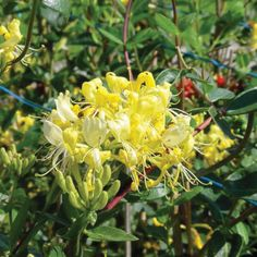 Honeysuckle - Lonicera periclymenum new for 2013 from Proven Winners
