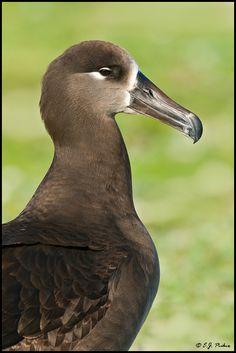 Black-footed Albatross by E.J. Peiker