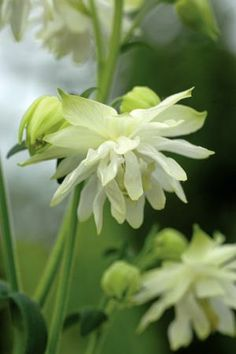 Aquilegia vulgaris 'Lime Sorbet'. Sow February - June, to flower the following year under cover. Self sows readily.