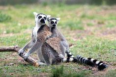 my next pet:) ring tailed lemur