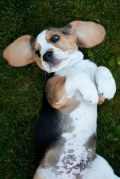 BABY BEAGLE BELLY ALERT!  awwwwww...look at that baby belly and floppy ears.