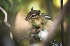 4 ways to get rid of chipmunks, with humane suggestions for prevention and exclusion, and a recipe for a homemade chipmunk repellent.