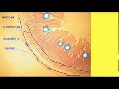 AP2 3: ENTERIC NERVOUS SYSTEM Enteric Nervous System, Hair Accessories, Health, Health Care, Hair Accessory, Salud