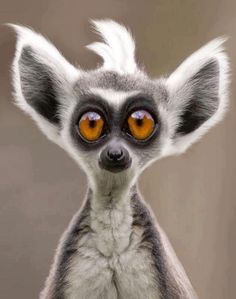 ...Ring tailed Lemur...amazing that this little guy is real. Way too cute.