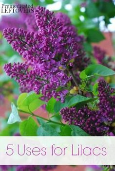 5 Uses for Lilacs - 5 Ways to use lilacs in your home and kitchen.