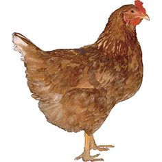 Golden Buff  (Red Star, Golden Comet) Hybrid chicken, sex link, super layer, calm, docile, and small.