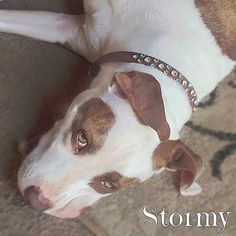 Swarovski Dog Collar ~ designed for Tania's rescue PitBull Stormy ~ PinUp Pups - Collars By Kitt