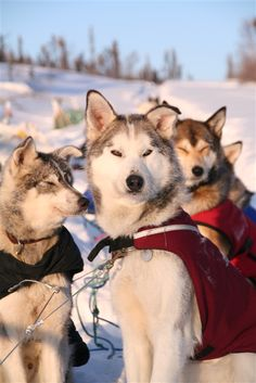 Beautiful huskies at Muktuk B and Cabins - Whitehorse, Yukon Territory