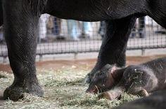 Anachli is an Asian elephant who was born in Berlin on just three days ago!