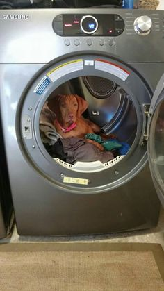 """""""The door was open and the clothes were warm.. I'm keeping them warm now!"""" Bloodhound Dogs, Vizsla Puppies, Weimaraner, Vizsla Funny, I Love Dogs, Cute Dogs, Wirehaired Vizsla, Goofy Dog, Hungarian Vizsla"""