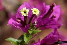 #Buganvilla #flores #flower