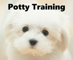 Maltese Puppies. How To Potty Train A Maltese Puppy. Maltese House Training Tips. Housebreaking Maltese Puppies Fast & Easy. Share this Pin with anyone needing to potty train a Maltese Puppy. Click on this link to watch our FREE world-famous video at ModernPuppies.com