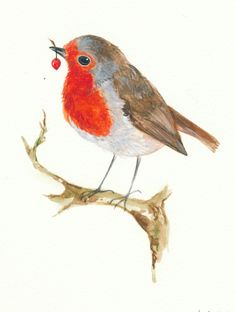 Study of a robin with berry by children's book illustrator Isabelle Brent.