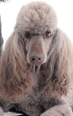 lovely poodle face