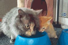 Mommy cat teaching her baby how to drink water