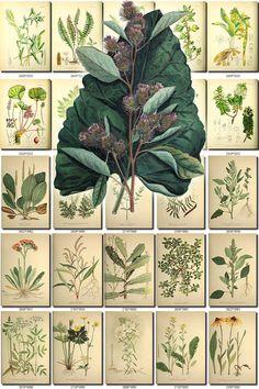 LEAVES GRASS-122 Collection of 234 vintage images Burdock adiantum oatesii, combretum oatesii, erica oatesii, hebenstreitia oatesii, acaena ascendens, acaena lucida, anagallis alternifolia densifolia, arabis macloviana, armeria macloviana, Arrow-leaved Fig Marigold, caltha sagittata, azorella ranunculus, baccharis magellanica, blechnum penna-marina, blechnum tabulare, calceolaria fothergillii, callixene marginata, chenopodium macrospermum, Chickweed, ste