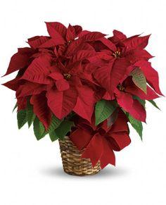 Poinsettia panier 25$ à 75$