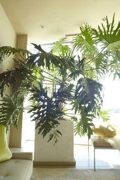 Philodendron. Image via Martha Stewart Living.