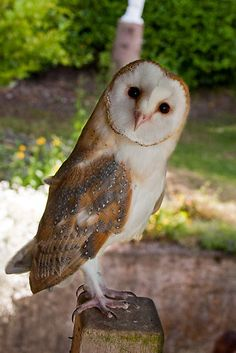 Young Barn Owl's first summer by Ayla Holdom