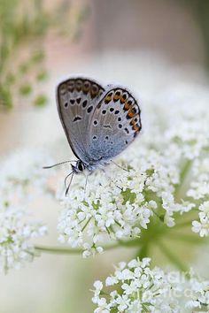 Silver-studded Blue By Marika Konkaanniska