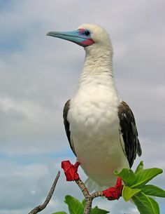 Red-footed Booby Christmas Island ~ These well known seabirds do not migrate, but live year-round in tropical and subtropical regions of the Atlantic, Pacific, and Indian Oceans. Familiar to boaters, they often follow (and sometimes land on) marine craft. Red-footed boobies feed at sea, but nest on land, perching in coastal trees and shrubs.