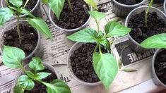 Выращиваю крепкую рассаду перцев по своему способу Summer House Garden, Home And Garden, Farm Gardens, Vegetables, Green, Flowers, Plants, Ideas, Vegetable Gardening