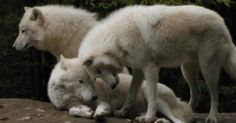 Wolvessnuggling
