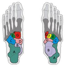 Tarsus: a cluster of 7 articulating bones in each foot between the lower end of tibia and fibula of the lower leg and metatarsus