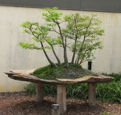 A Bald Cypress (Taxodium distichum) forest bonsai on display at the National Bonsai and Penjing Museum at the United States National Arboretum.It has been in training since 1988.