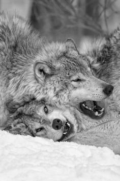 Grey Wolves by Renald Bourque