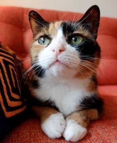 Are you looking for calico cat names? Here is a collection of female calico cat names. Puppies And Kitties, Cats And Kittens, Cats Meowing, Pretty Cats, Beautiful Cats, Calico Cat Names, Gato Calico, Calico Cats, Orange Cats