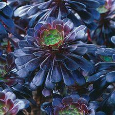 Aeonium arboreum 'Zwartkop' (Black rose) -- succulent plant with burgundy-black leaves that form a rose-like shape -- zones 9-11 --  photo by Bill Johnson