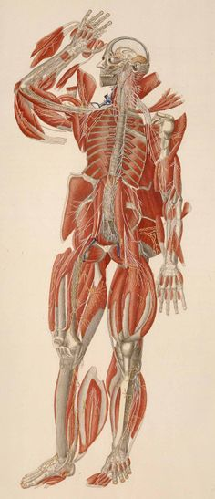 "Anatomia universale. Florence, 1833. Overprinted and hand colored copperplate engraving. National Library of Medicine. Paolo Mascagni (1755-1815)[anatomist] Antonio Serantoni (1780-1837) [artist]. In the omission of background, and intense, even excessive, use of color, Mascagni's plates exemplify the new free-floating style of anatomical representation. The rendering of dissected ""flaps,"" however, harkens back to an older style."