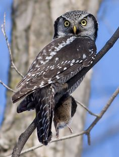 The Northern Hawk Owl - Surnia ulula, is unevenly distributed and highly variable throughout the boreal forest from Alaska eastward through Newfoundland, and from Scandinavia through Siberia. Photo by Rachel Bilodeau