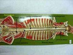 the black line is spinal canal.