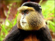 Gplden Monkey